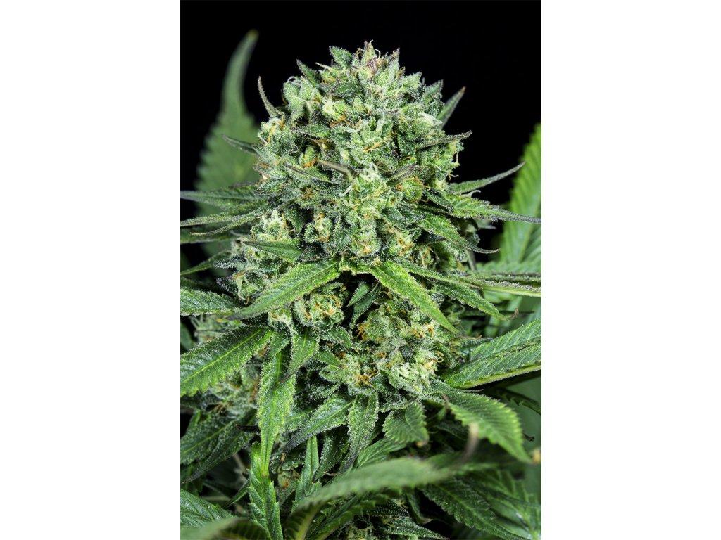 Dinafem Cheese CBD, feminizovaná semena marihuany, 5ks