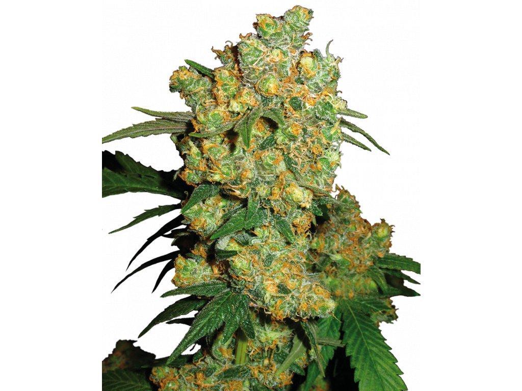 Sensi Seeds Big Bud, feminizovaná konopná semínka, 5ks