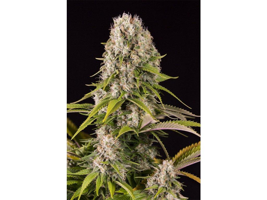 Dinafem Diesel, feminizovaná semena marihuany, 5ks