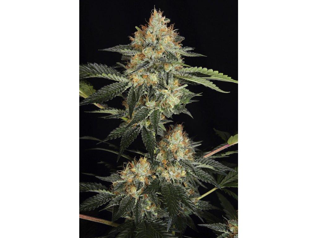Dinafem Dinachem, feminizovaná semena marihuany, 3ks