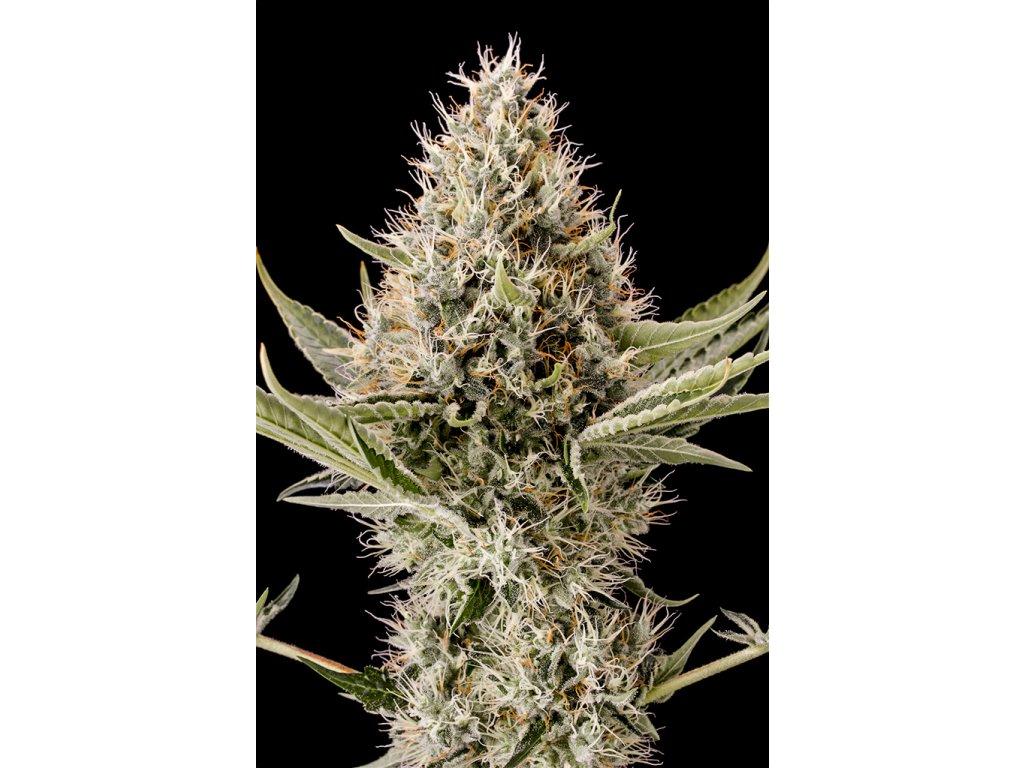Dinafem Dinamex, feminizovaná semena konopí, 3ks
