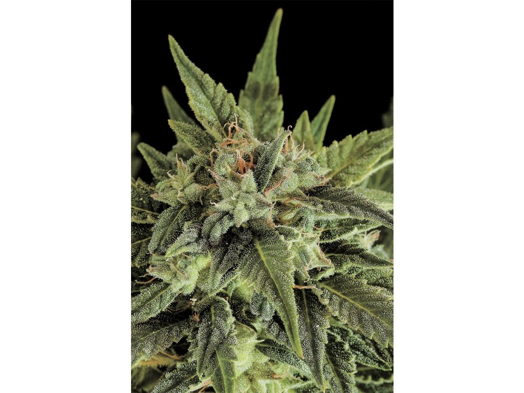 Dinafem Fruit Automatic, feminizovaná semena marihuany, samonakvétací, 5ks