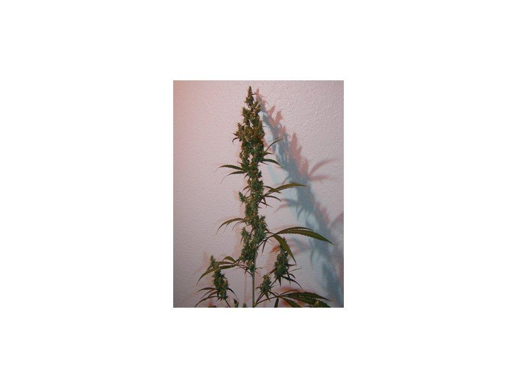 Mr. Nice Seeds Afghan Haze, regulérní konopná semínka, 18ks