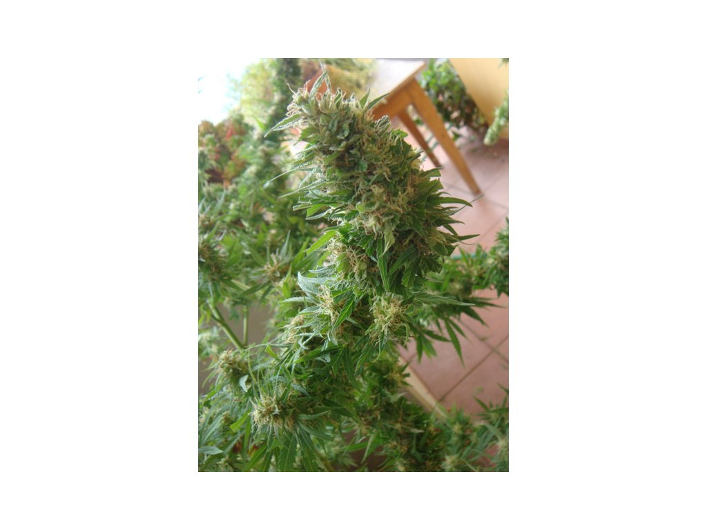 Mr. Nice Seeds Angel Heart - Mango Haze x Afghan Skunk, regulérní konopná semínka, 18ks