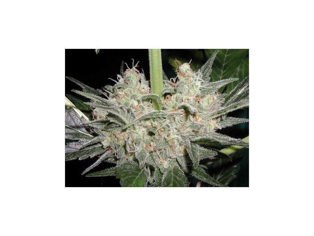Mr. Nice Seeds Black Widow, regulérní konopná semínka, 18ks