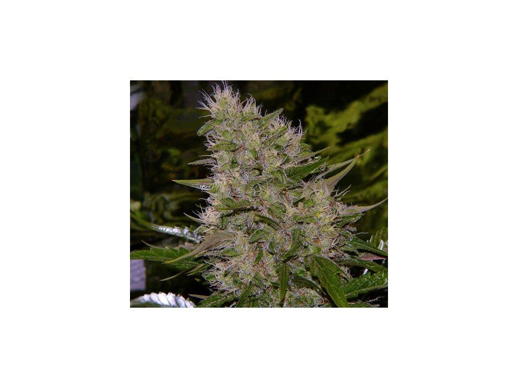 Mr. Nice Seeds Critical Mass, regulérní konopná semínka, 18ks