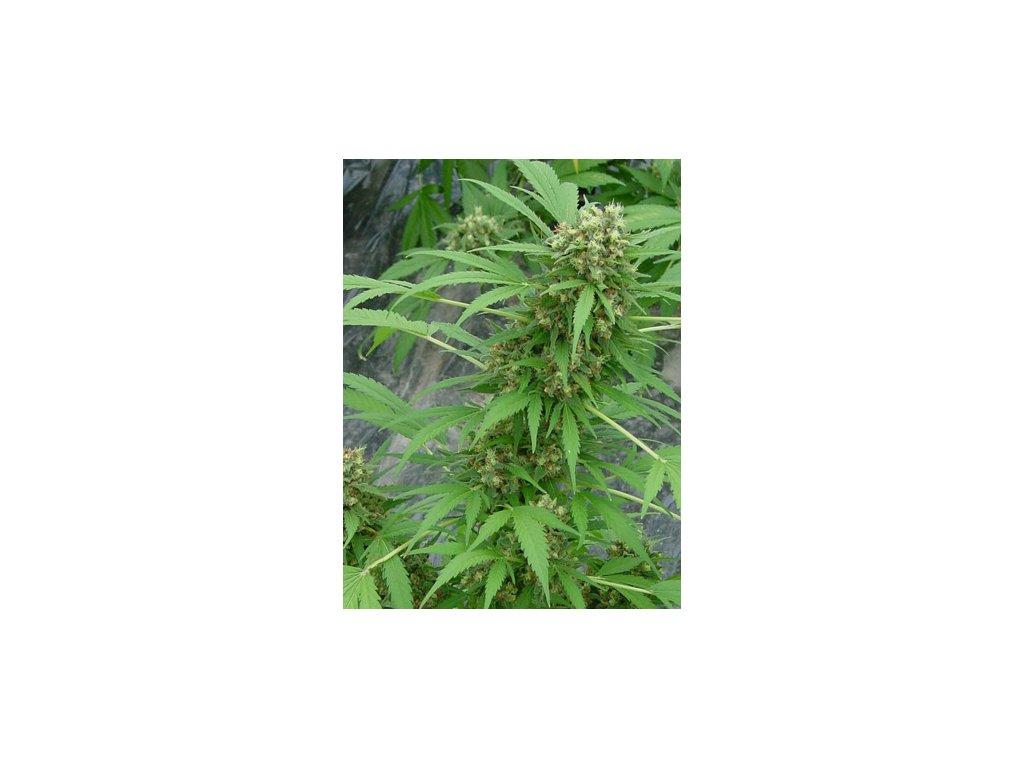 Mr. Nice Seeds Early Skunk, regulérní semena marihuany, 18ks