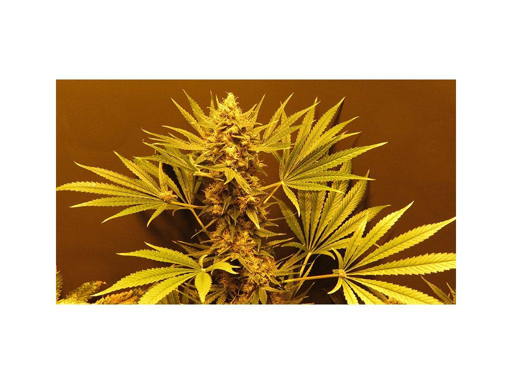 Mr. Nice Seeds G13 x Haze, regulérní semínka konopí, 18ks