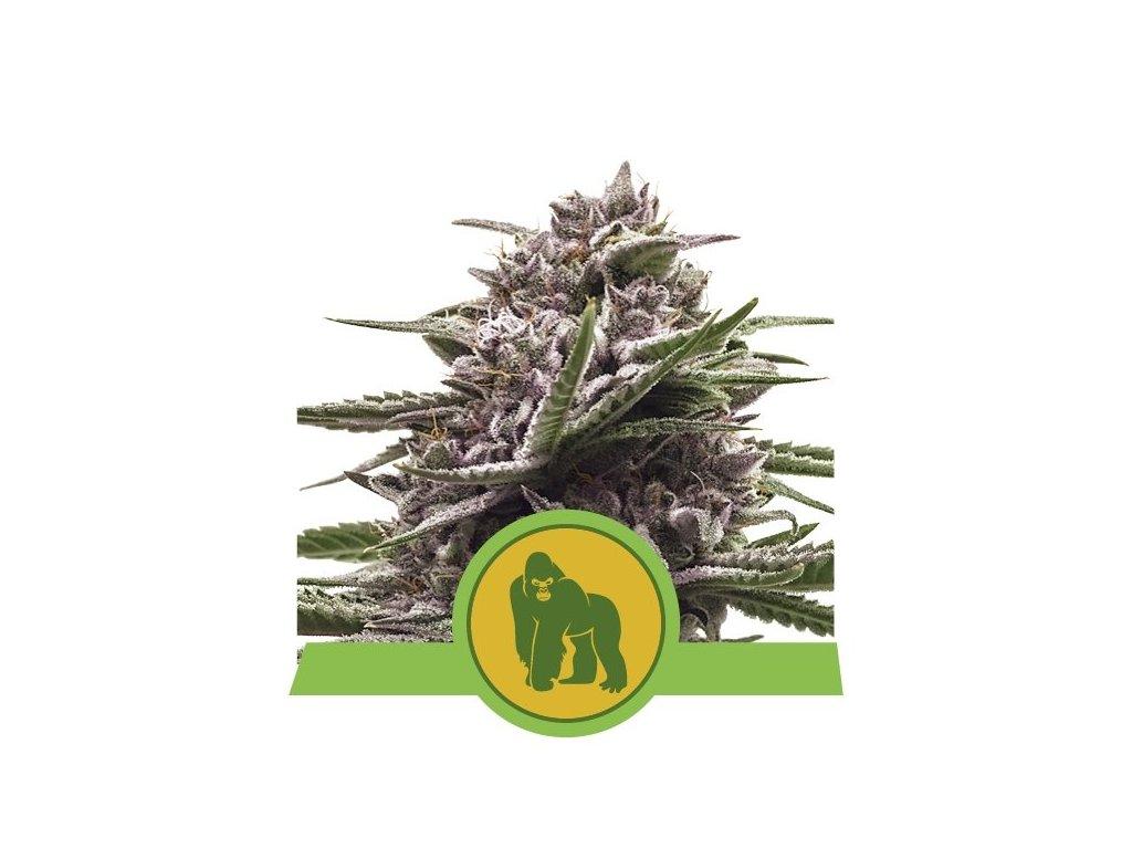 Royal Queen Seeds Royal Gorilla Auto, feminizovaná semena marihuany, samonakvétací, 3ks