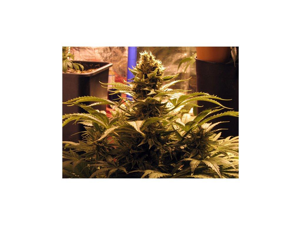 Mr. Nice Seeds G13 x Widow, regulérní konopná semínka, 18ks