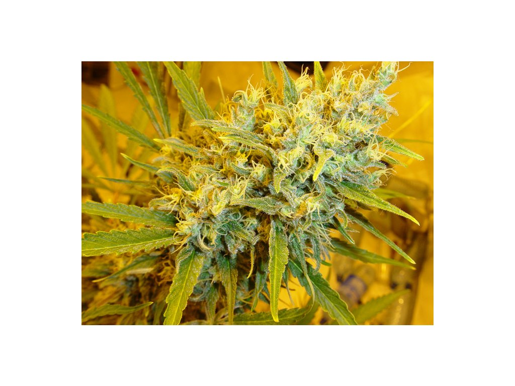 Mr. Nice Seeds Critical Haze, regulérní semínka marihuany, 18ks