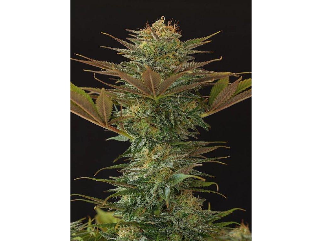 Mr. Nice Seeds NL5 x Afghan, regulérní semena marihuany, 18ks