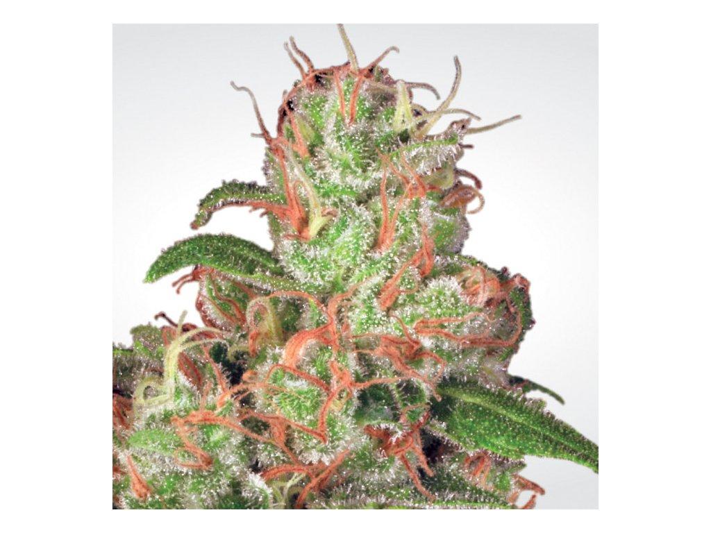Paradise Seeds Auto Acid, feminizovaná semena marihuany, samonakvétací, 5ks