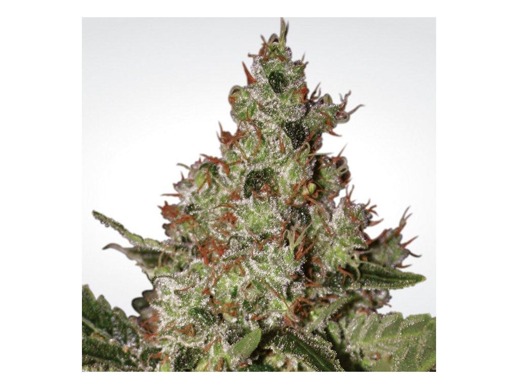Paradise Seeds Acid, feminizovaná semena marihuany, 5ks
