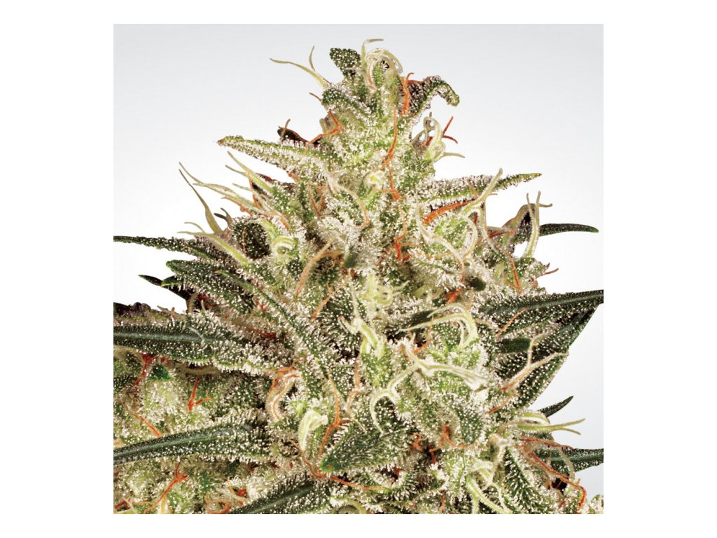 Paradise Seeds Atomical Haze, feminizovaná semínka marihuany, 10ks