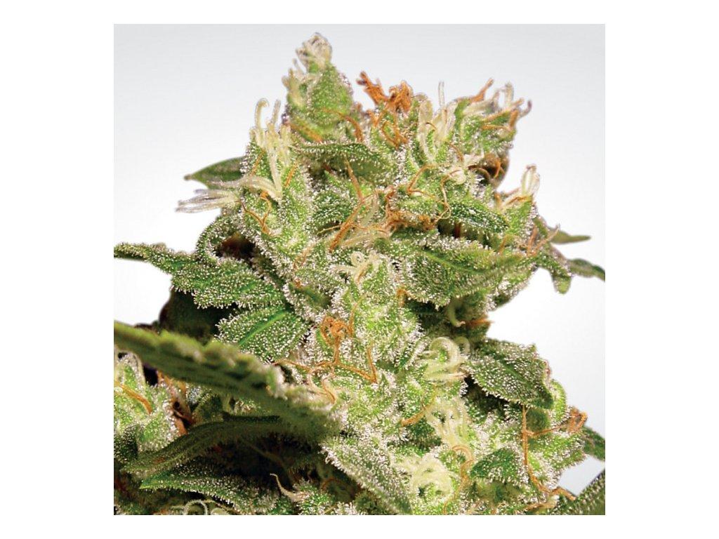 Paradise Seeds Auto Jack, feminizovaná semena marihuany, samonakvétací, 5ks