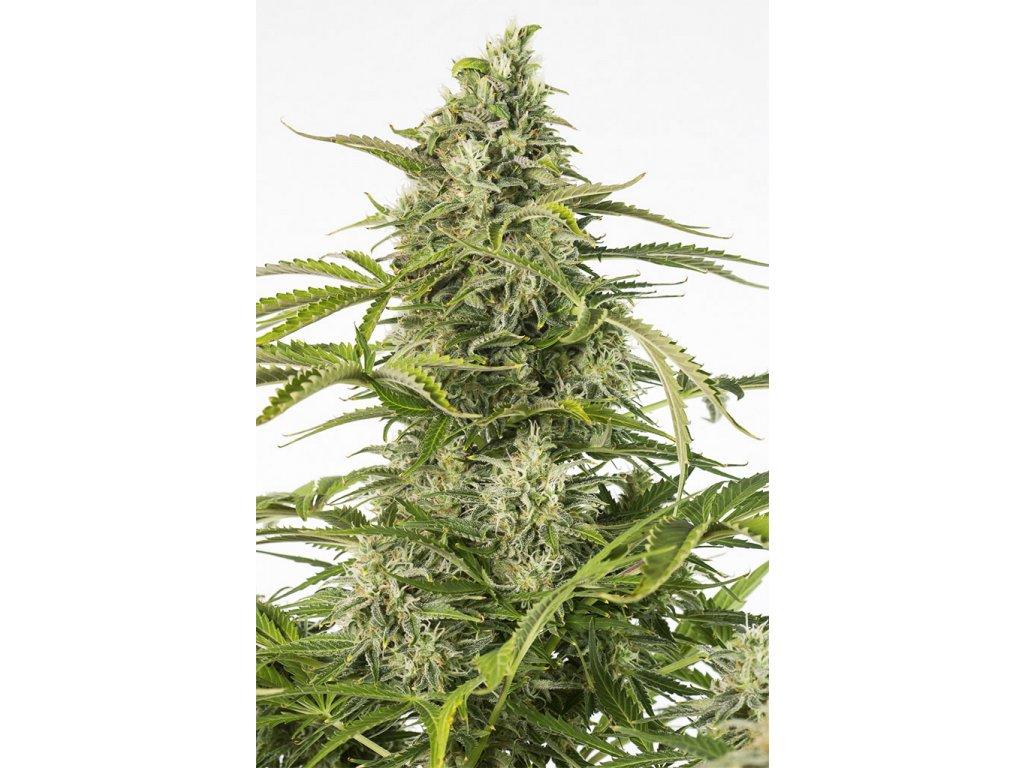 Dinafem Cheese Autoflowering CBD, samonakvétací semena konopí, feminizovaná, 3ks