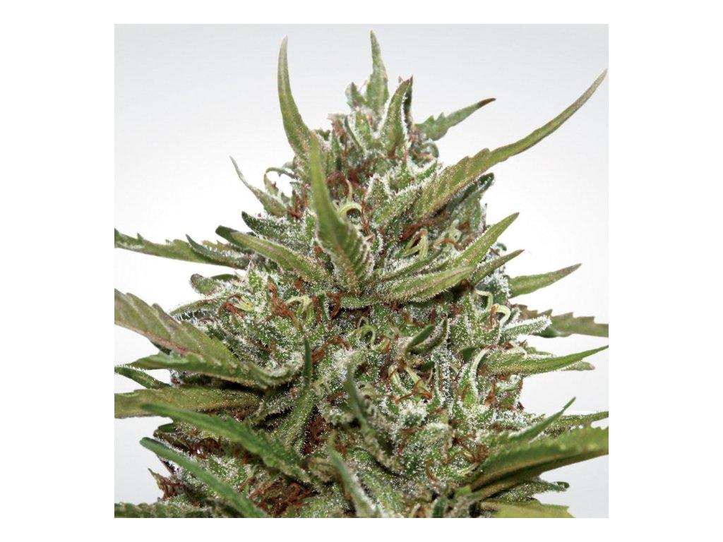 Paradise Seeds Auto White Berry, feminizovaná semena marihuany, samonakvétací, 5ks
