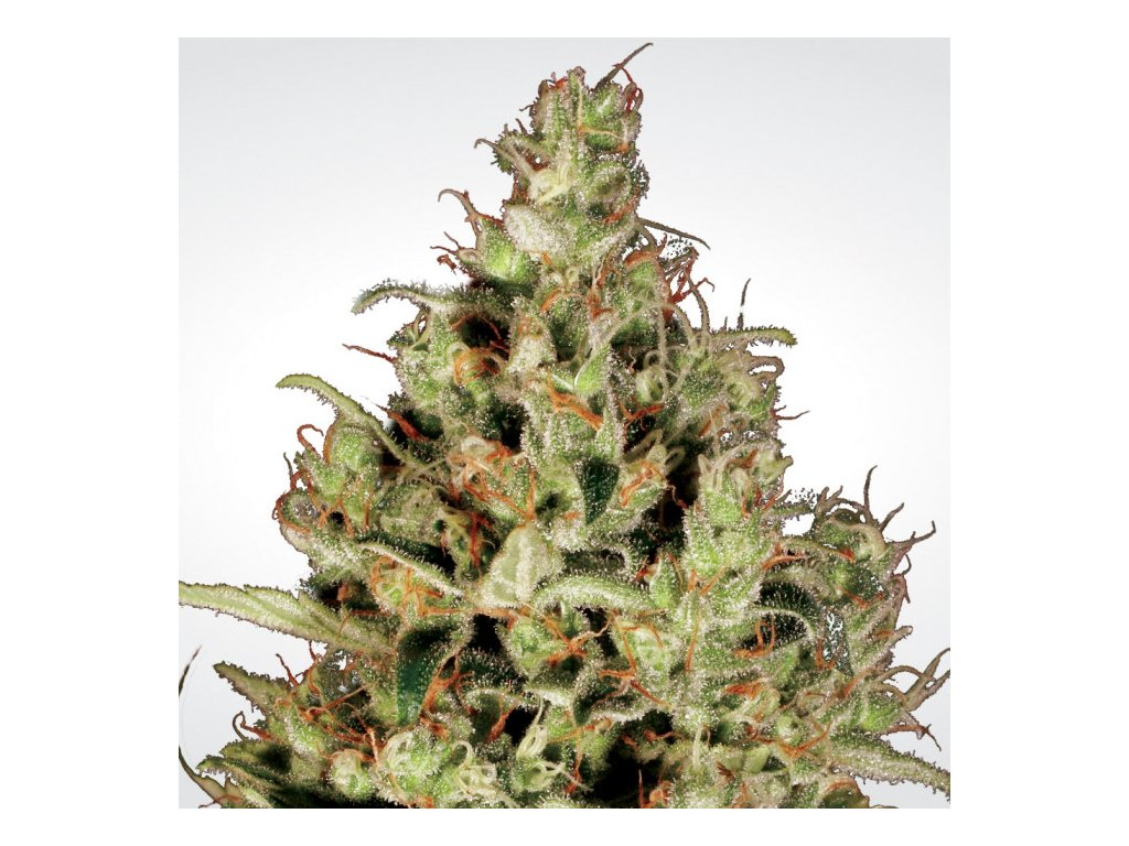 Paradise Seeds Delahaze, feminizovaná semínka marihuany, 10ks