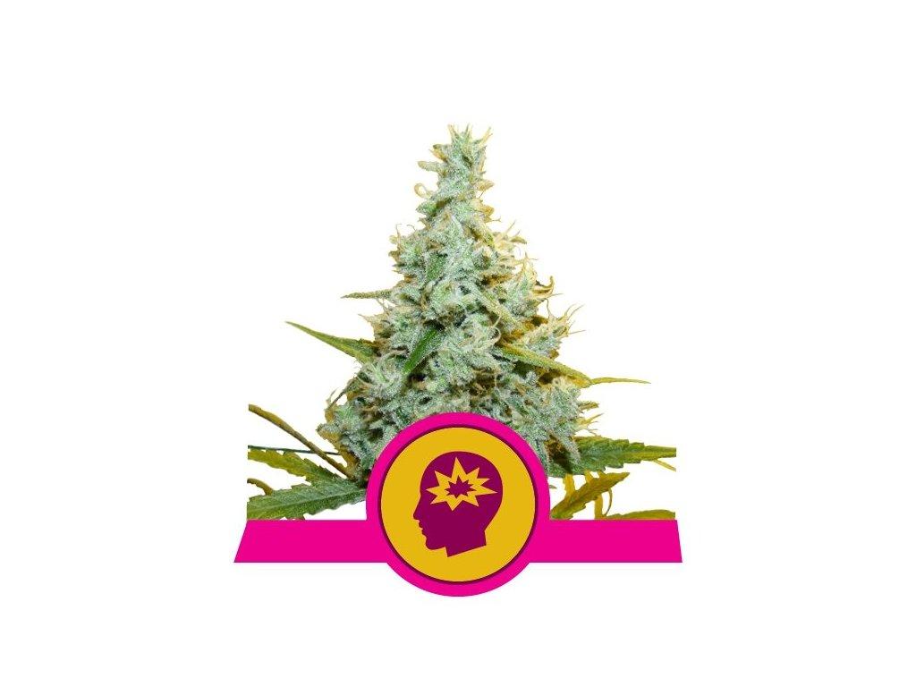 Royal Queen Seeds AMG, feminizovaná semena marihuany, 10ks
