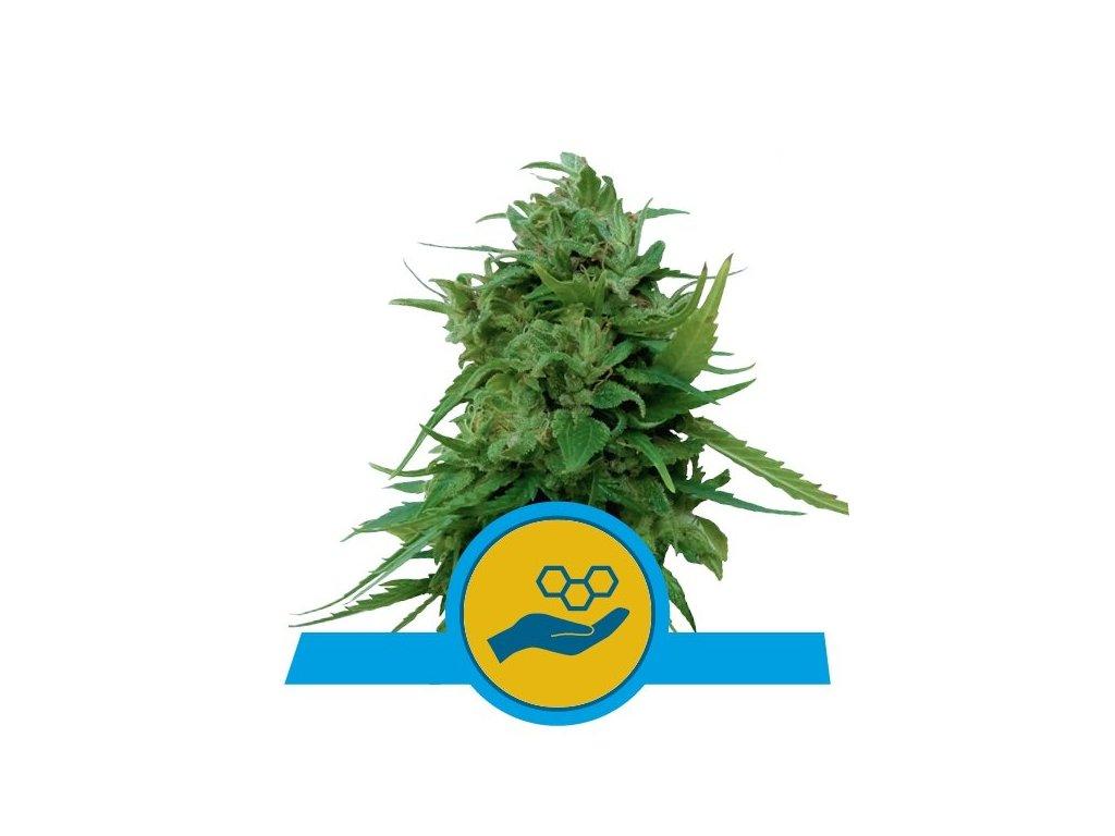 Royal Queen Seeds Solomatic, feminizovaná semena marihuany, samonakvétací, 10ks