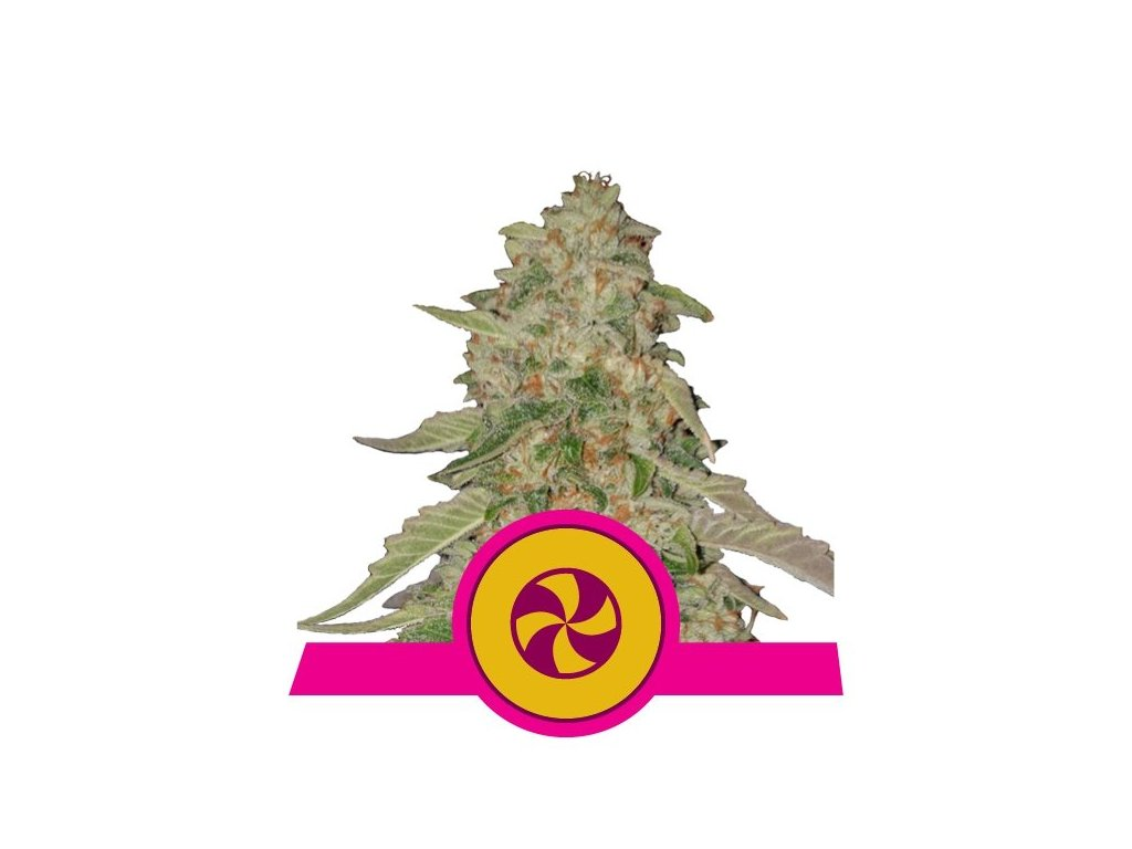 Royal Queen Seeds Sweet ZZ, feminizovaná semena marihuany, 10ks