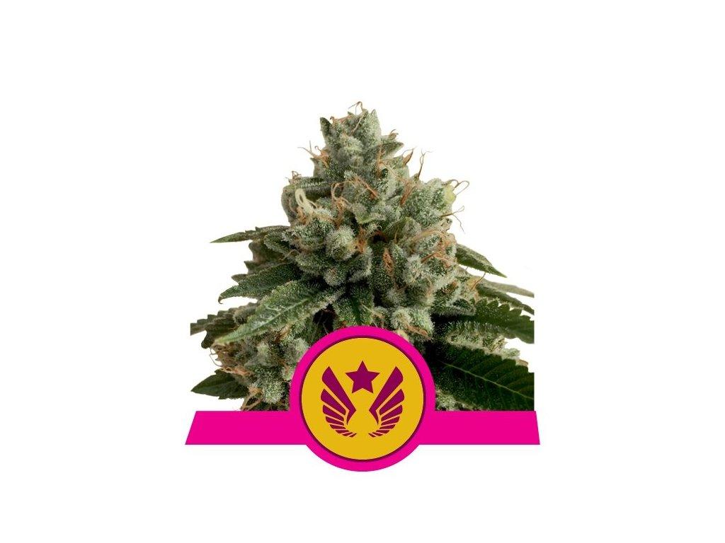 Royal Queen Seeds Legendary Punch, feminizovaná semena marihuany, 10ks