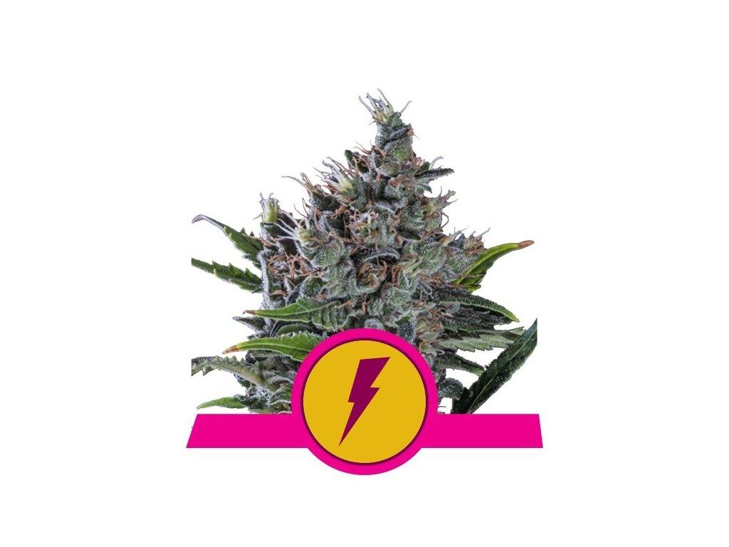 Royal Queen Seeds North Thunderfuck, feminizovaná semínka marihuany, 10ks
