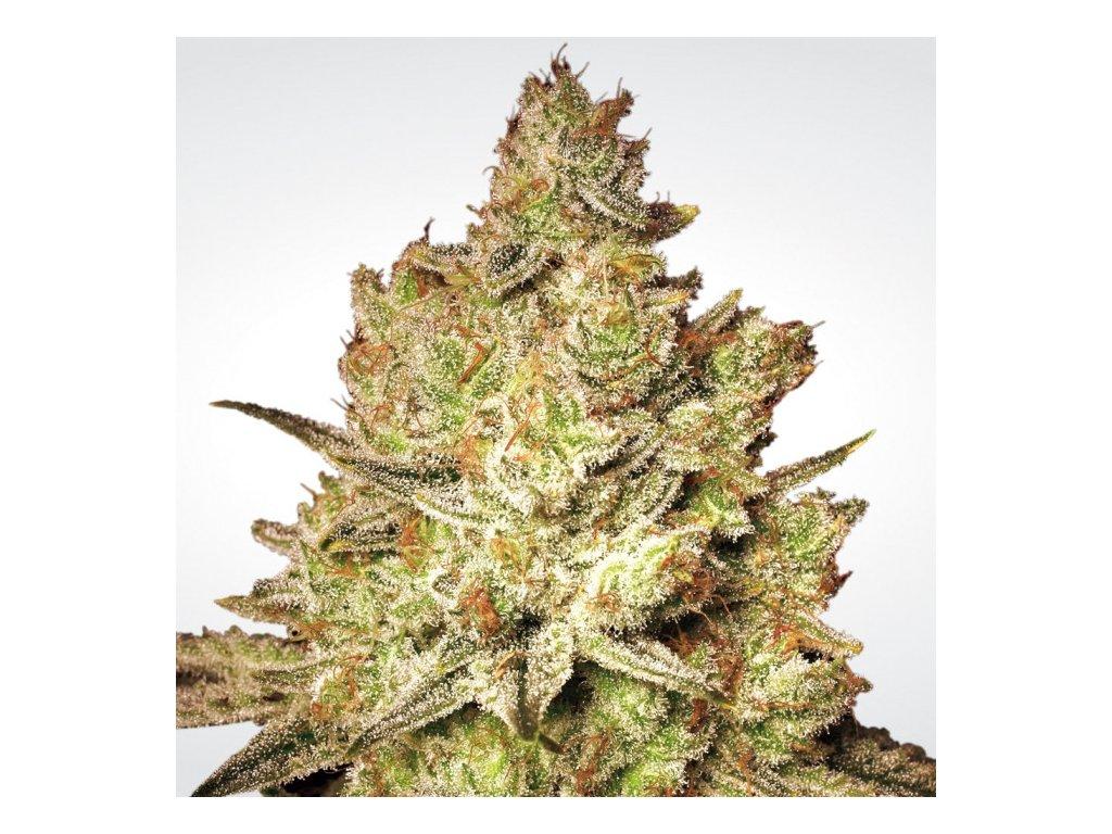 Paradise Seeds Jacky White, feminizovaná semena marihuany, 3ks