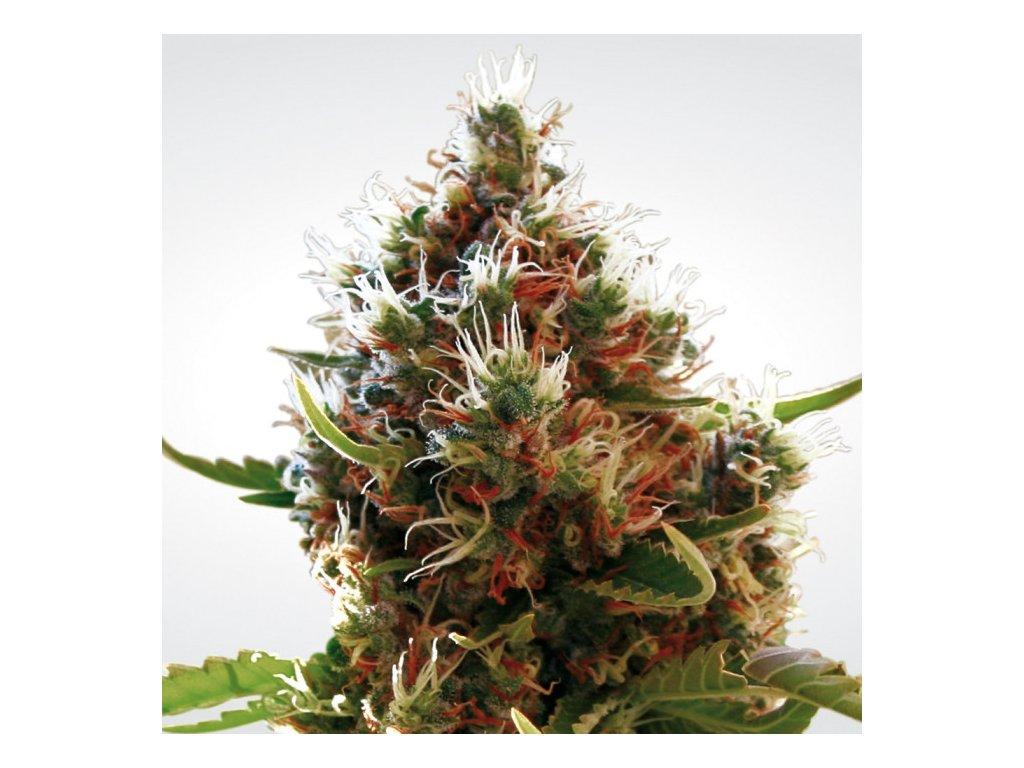 Paradise Seeds Lucid Bolt, feminizovaná semínka konopí, 10ks