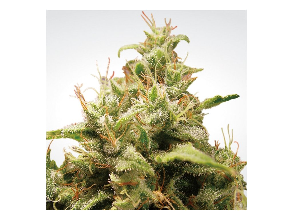 Paradise Seeds Opium, feminizovaná konopná semínka, 5ks
