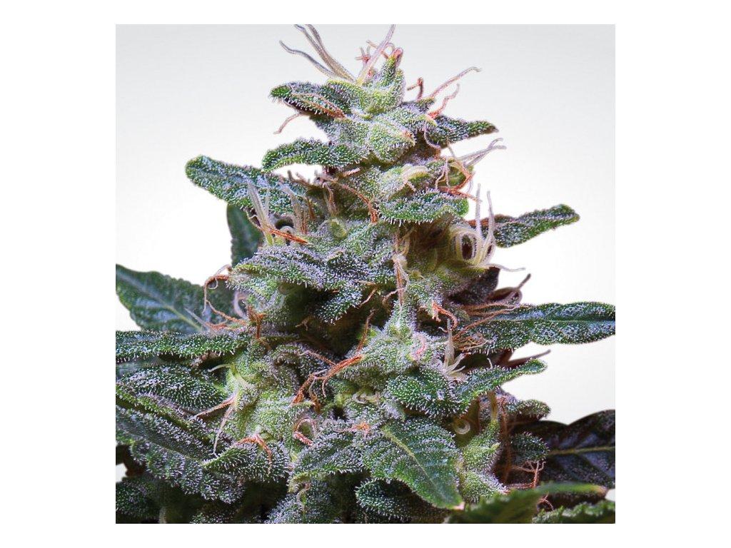 Paradise Seeds Sweet Purple, feminizovaná semínka konopí, 10ks
