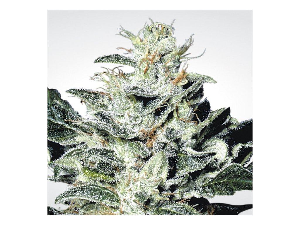 Paradise Seeds Sensi Star, feminizovaná semena marihuany, 3ks