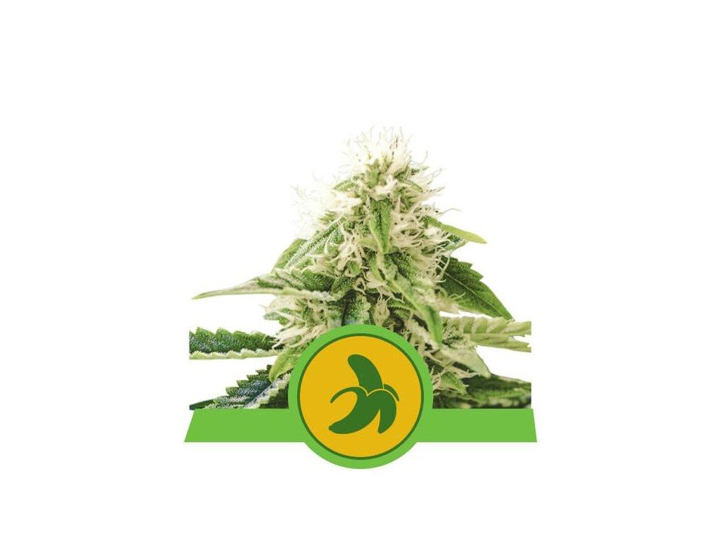 Royal Queen Seeds Fat Banana Automatic, feminizovaná semínka marihuany, samonakvétací, 10ks