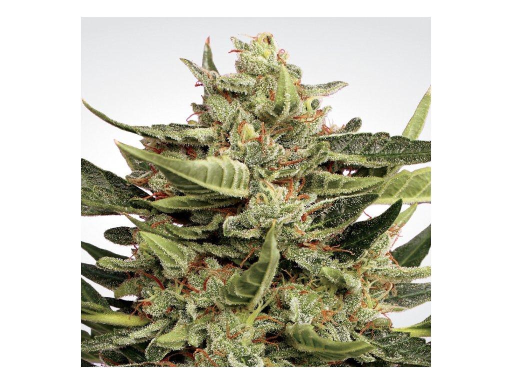 Paradise Seeds Vertigo, feminizovaná semena marihuany, samonakvétací, 5ks