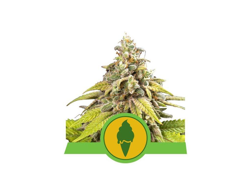 Royal Queen Seeds Green Gelato Automatic, feminizovaná semínka marihuany, samonakvétací, 10ks