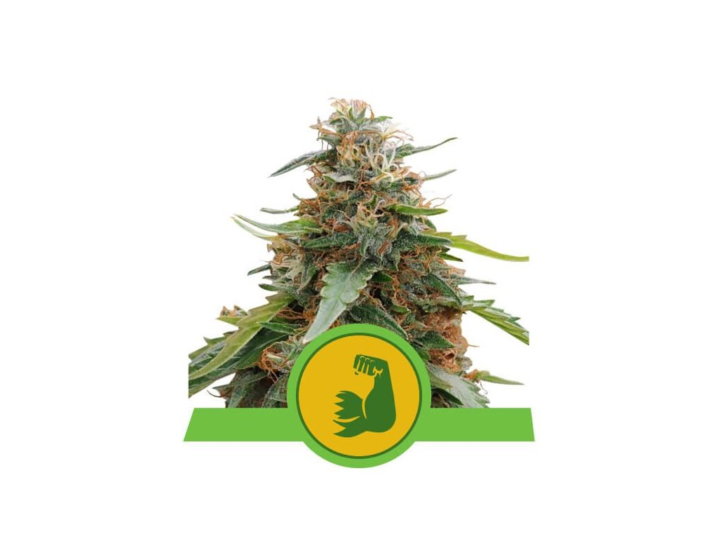 Royal Queen Seeds Hulkberry Automatic, feminizovaná semínka marihuany, samonakvétací, 10ks