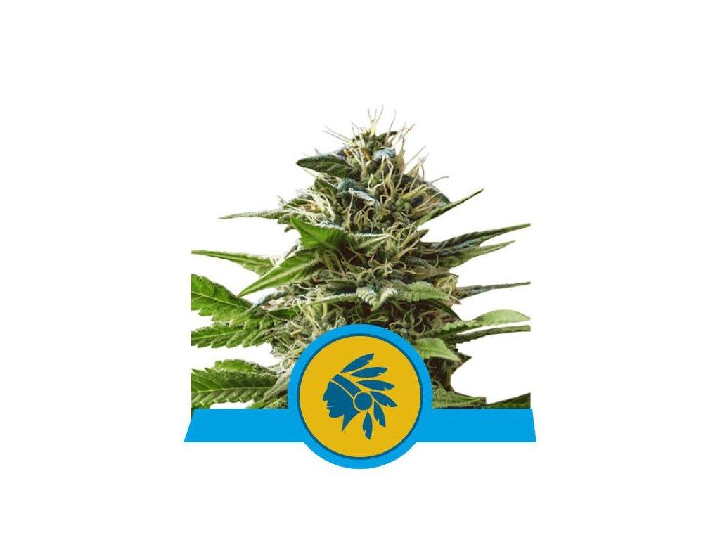 Royal Queen Seeds Tatanka Pure, feminizovaná semínka marihuany, 10ks