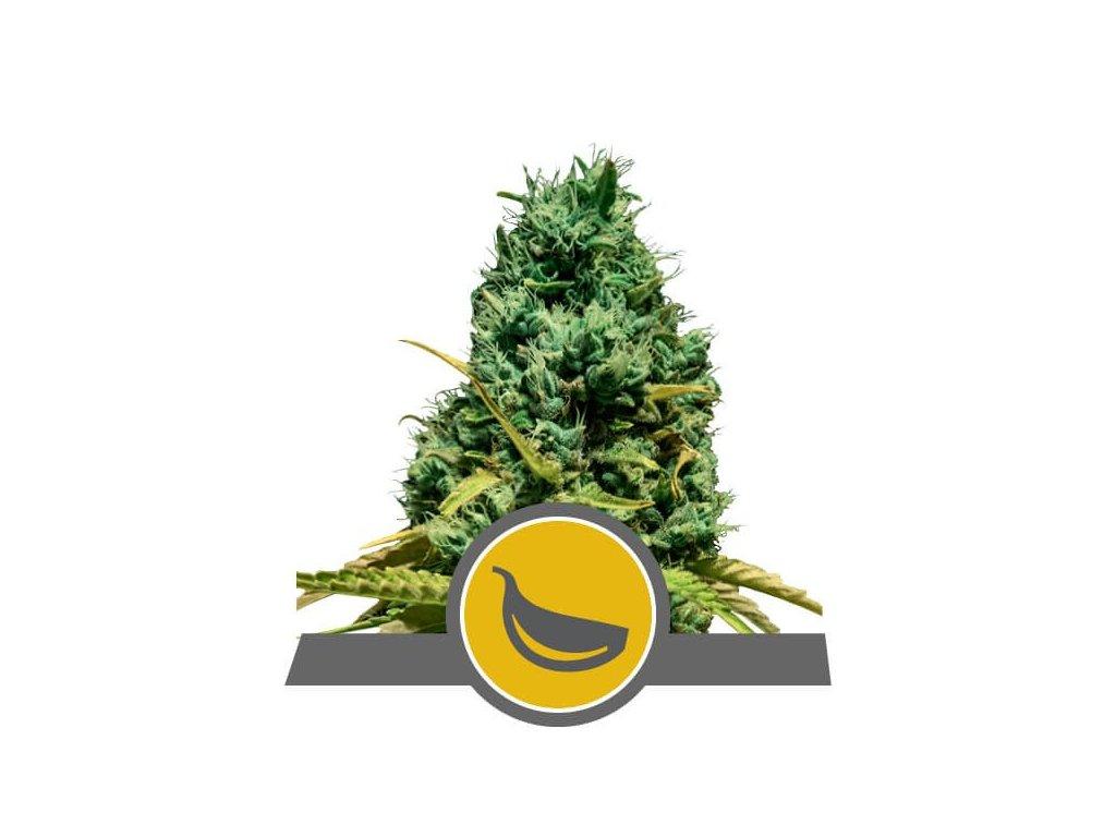 Royal Queen Seeds Garlic Mist, regulérní semena marihuany, 25ks