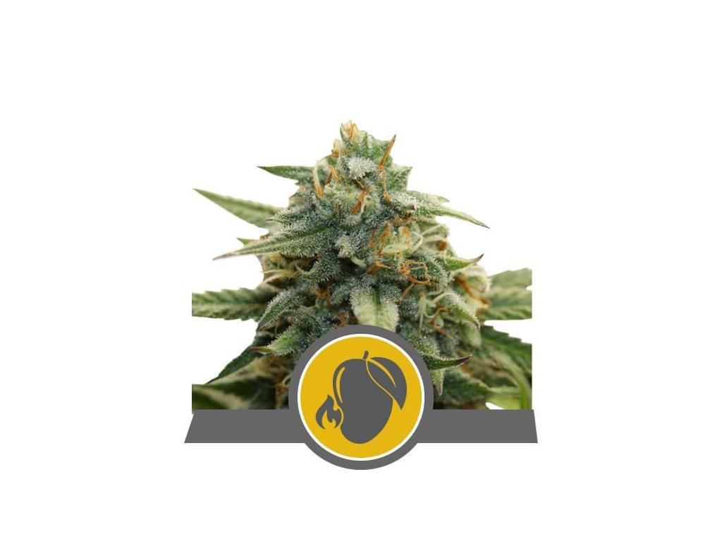 Royal Queen Seeds Mango Crunch, regulérní semena marihuany, 25ks