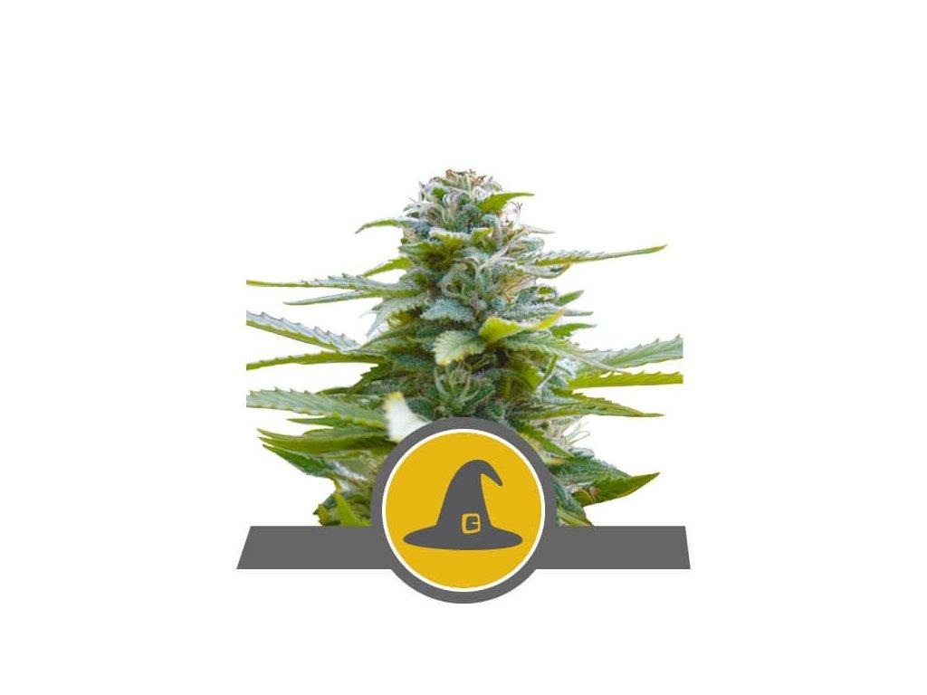 Royal Queen Seeds Exotic Witch, regulérní semena marihuany, 25ks