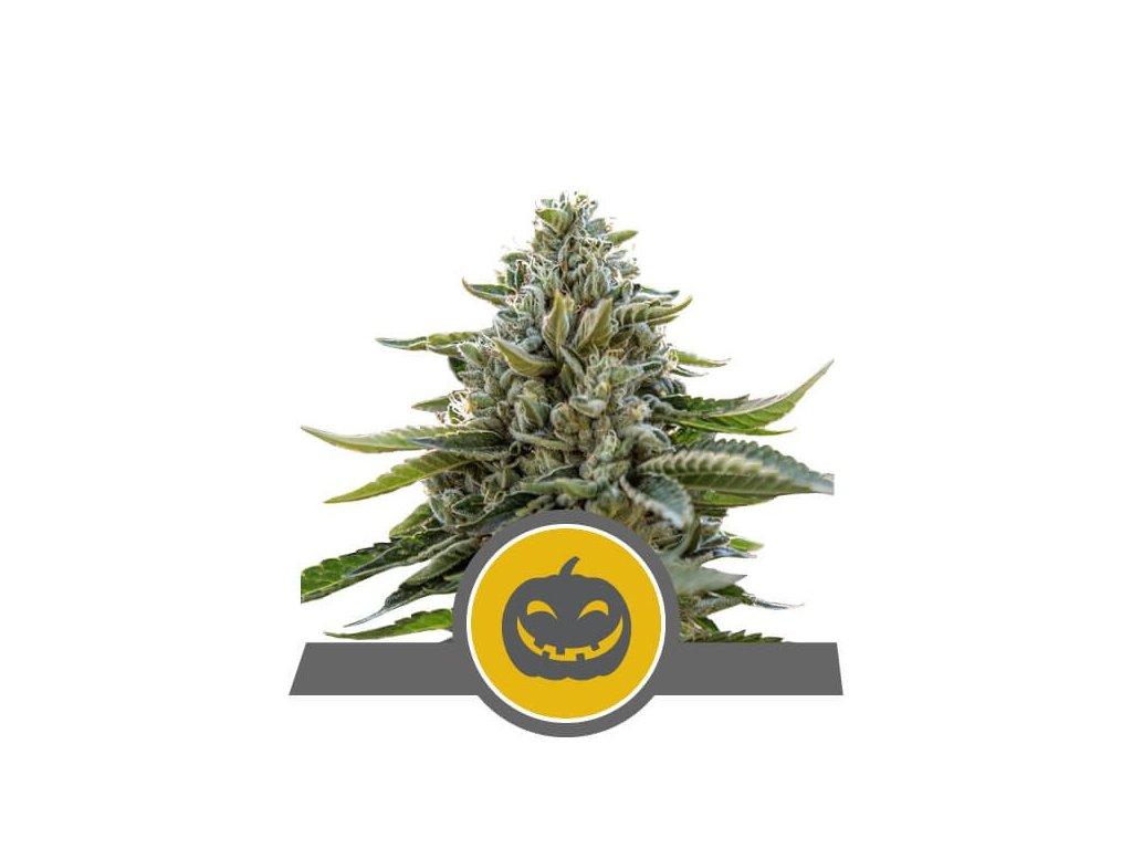 Royal Queen Seeds Pumpkin Kush, regulérní semena marihuany, 25ks