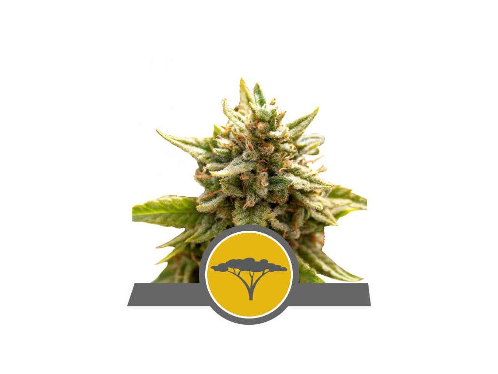 Royal Queen Seeds Marula Fruit, regulérní semínka marihuany, 10ks