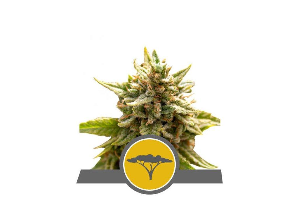 Royal Queen Seeds Marula Fruit, regulérní semena marihuany, 25ks