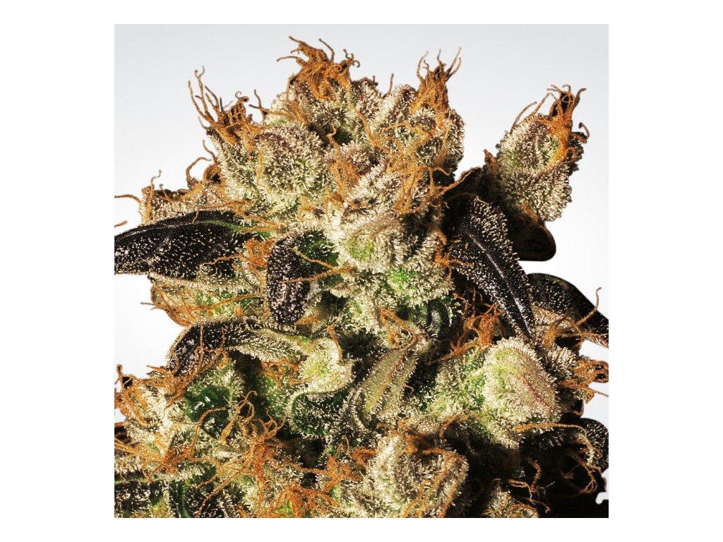 Paradise Seeds White Berry, feminizovaná semena marihuany, 3ks