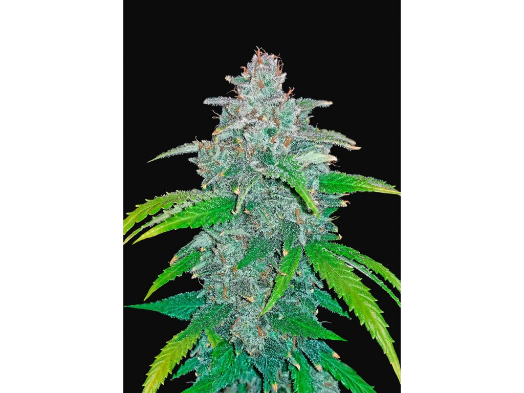 Fast Buds Blue Dream'matic Auto, feminizovaná semena marihuany, samonakvétací, 3ks