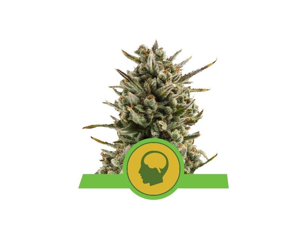 Royal Queen Seeds Amnesia Haze Automatic, feminizovaná semena marihuany, samonakvétací, 3ks