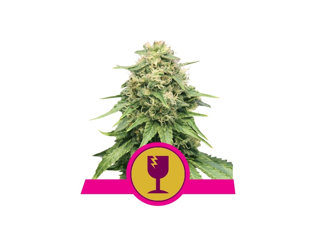 Royal Queen Seeds Critical, feminizovaná semínka marihuany, 10ks