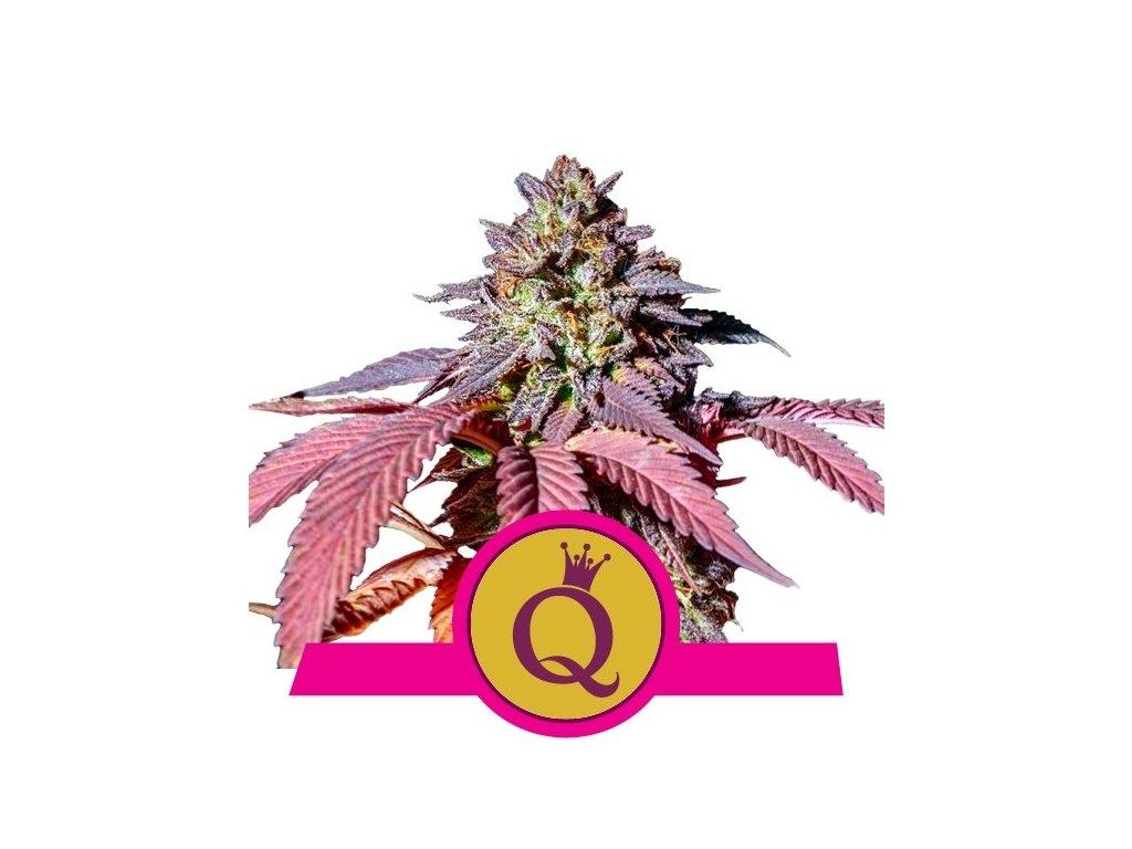Royal Queen Seeds Purple Queen, feminizovaná konopná semínka, 5ks