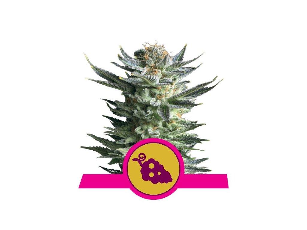 Royal Queen Seeds Fruit Spirit, feminizovaná semena marihuany, 5ks
